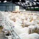 Бизнес на козах: это выгодно?